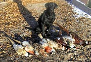 bird dog with pheasants